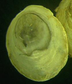 Ancylus fluviatilis - чашечка речная