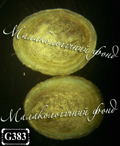 A. fluviatilis - чашечка річкова