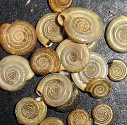 Anisus leucostoma