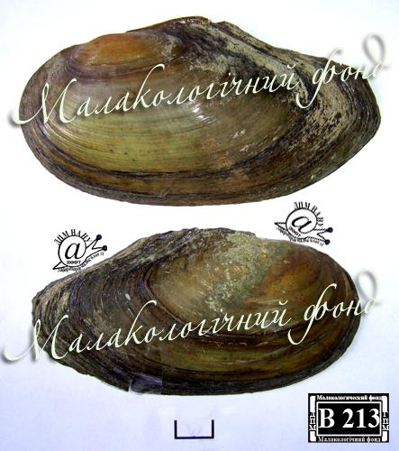 Anodonta anatina. Фотография 55