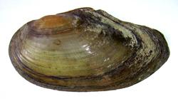 Моллюск апреля среди пресноводных моллюсков - Anodonta anatina (Linnaeus, 1758) (2018 г.)