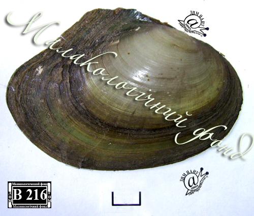 Anodonta anatina. Фотография 57