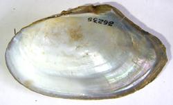A. anatina