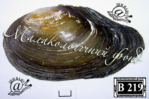 Anodonta anatina. Фотография 63