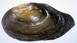 Моллюск мая среди пресноводных моллюсков - Anodonta anatina (Linnaeus, 1758) (2019 г.)