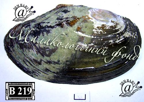 Anodonta anatina. Фотография 65