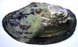A. anatina. Фотография 66