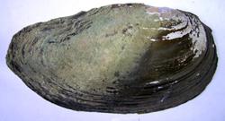 A. anatina. Фотография 68