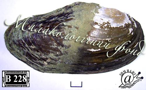 Anodonta anatina. Фотография 69