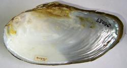 A. anatina. Фотография 72