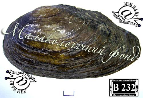 Anodonta anatina. Фотография 73