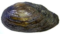 A. anatina. Фотография 74