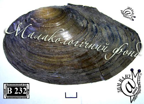 Anodonta anatina. Фотография 75