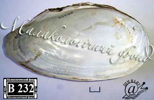 Anodonta anatina. Фотография 77