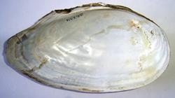A. anatina. Фотография 78