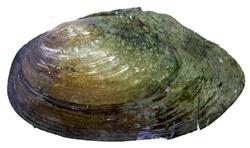 A. anatina. Фотография 82