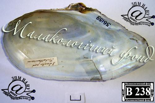 Anodonta anatina. Фотография 83