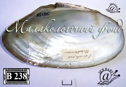 Anodonta anatina. Фотография 85
