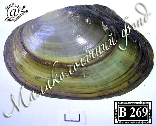 Anodonta anatina. Фотография 87