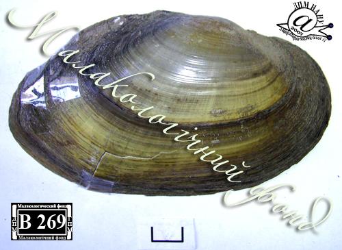 Anodonta anatina. Фотография 89