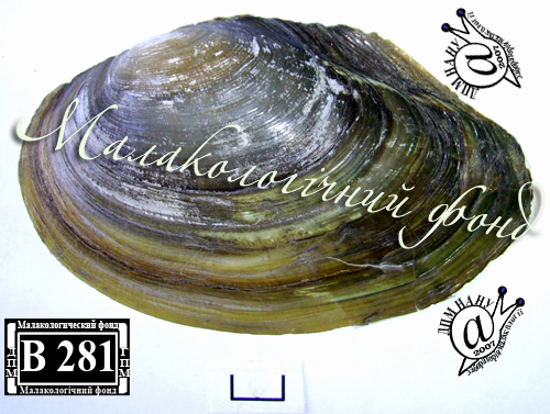 Anodonta anatina. Фотография 91