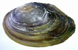 A. anatina. Фотография 92