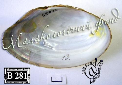 Anodonta anatina. Фотография 93