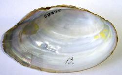 A. anatina. Фотография 94