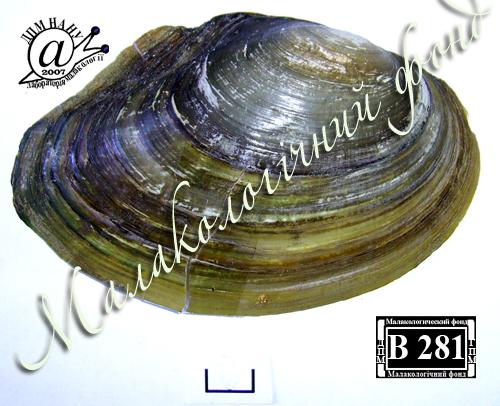Anodonta anatina. Фотография 95