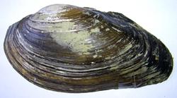 A. anatina. Фотография 98
