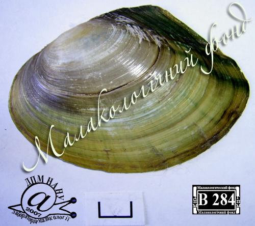 Anodonta anatina. Фотография 99