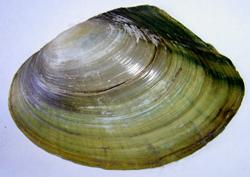 A. anatina. Фотография 100