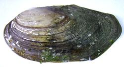 A. anatina. Фотография 102