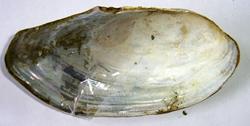 A. anatina. Фотография 104