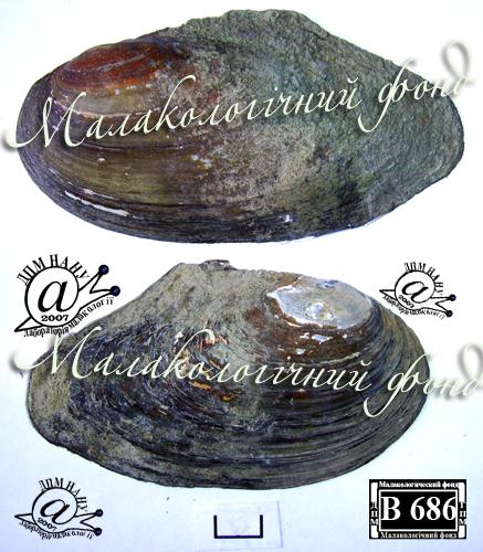 Anodonta anatina. Фотография 105