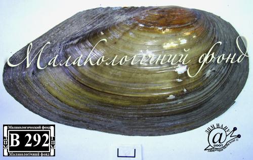 Anodonta anatina. Фотография 16