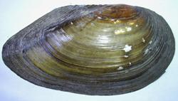 A. cygnea