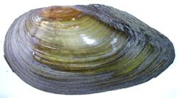A. anatina. Фотография 19