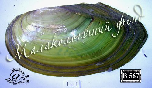 Anodonta anatina. Фотография 20