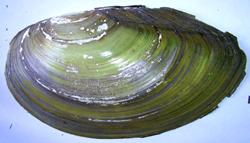 A. anatina. Фотография 23