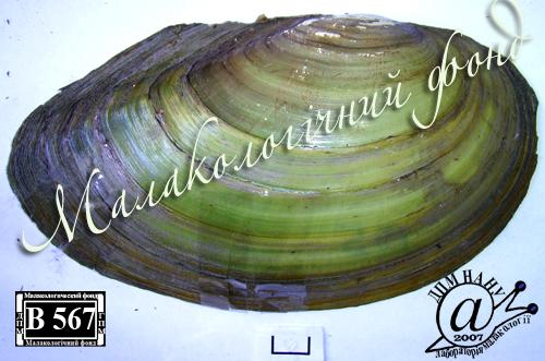 Anodonta anatina. Фотография 24