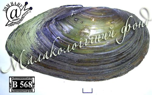 Anodonta anatina. Фотография 26