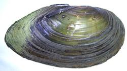 Моллюск июля среди пресноводных моллюсков - Anodonta cygnea (2020 г.)