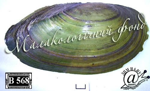 Anodonta anatina. Фотография 28