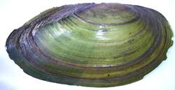 A. anatina. Фотография 29