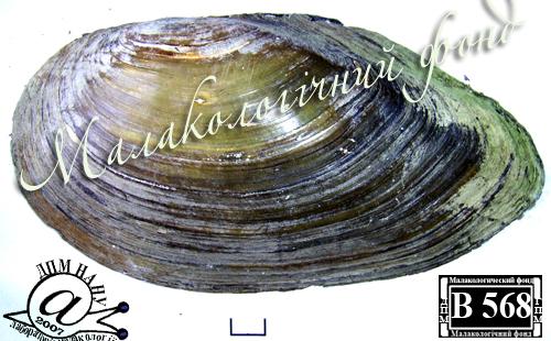 Anodonta anatina. Фотография 30