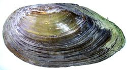 A. anatina. Фотография 31