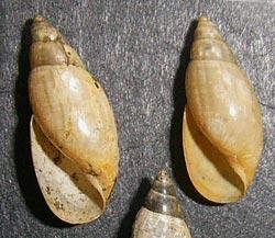 Моллюск августа среди пресноводных моллюсков - Aplexa hypnorum (2013 р.)