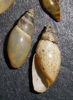Моллюск сентября среди пресноводных моллюсков - Aplexa hypnorum (2013 р.)