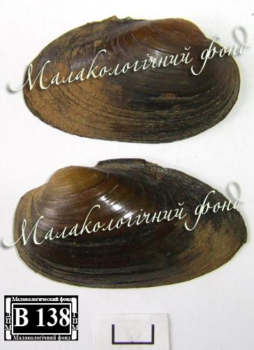 Batavusiana crassa. Фотография 36